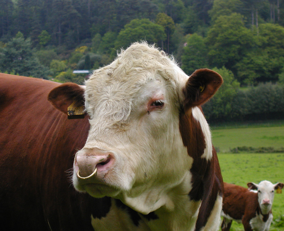 coverwood_cow