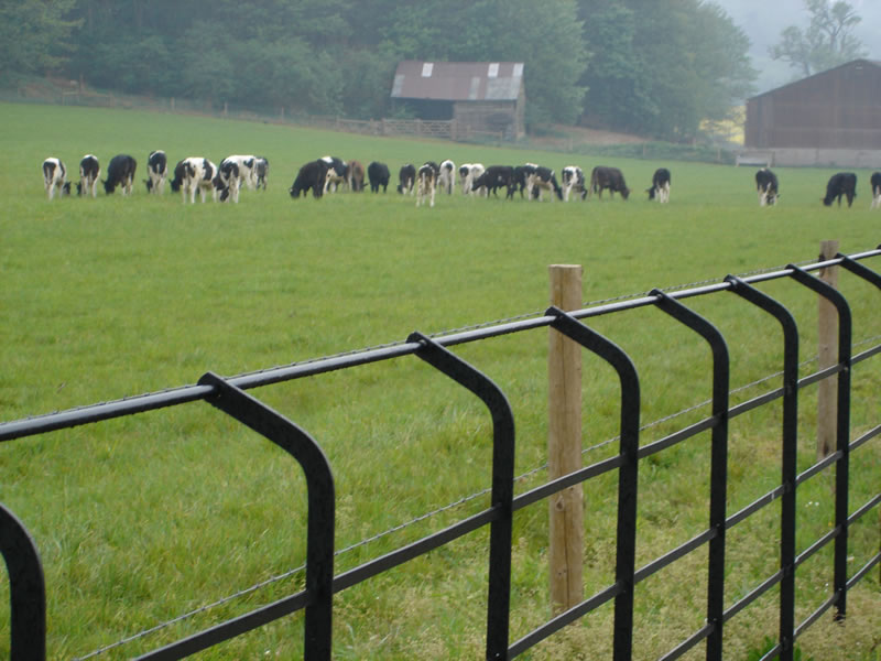 cattle_and_iron_rail_1