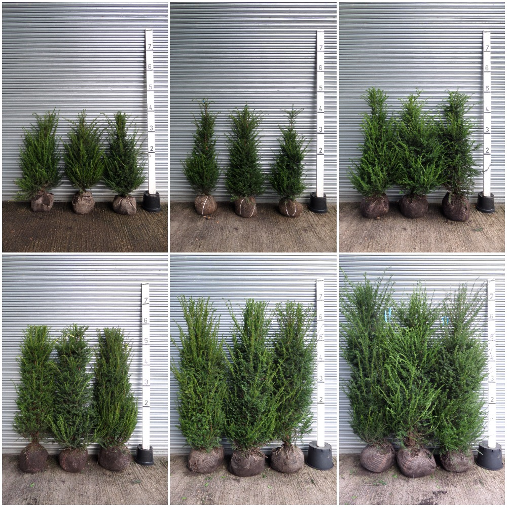 Root-balled-Taxus